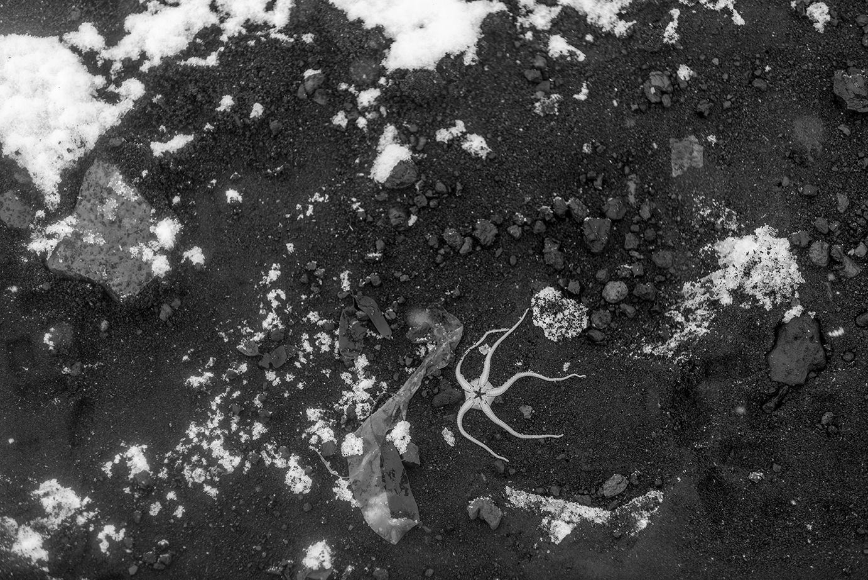 Starfish - Deception Island