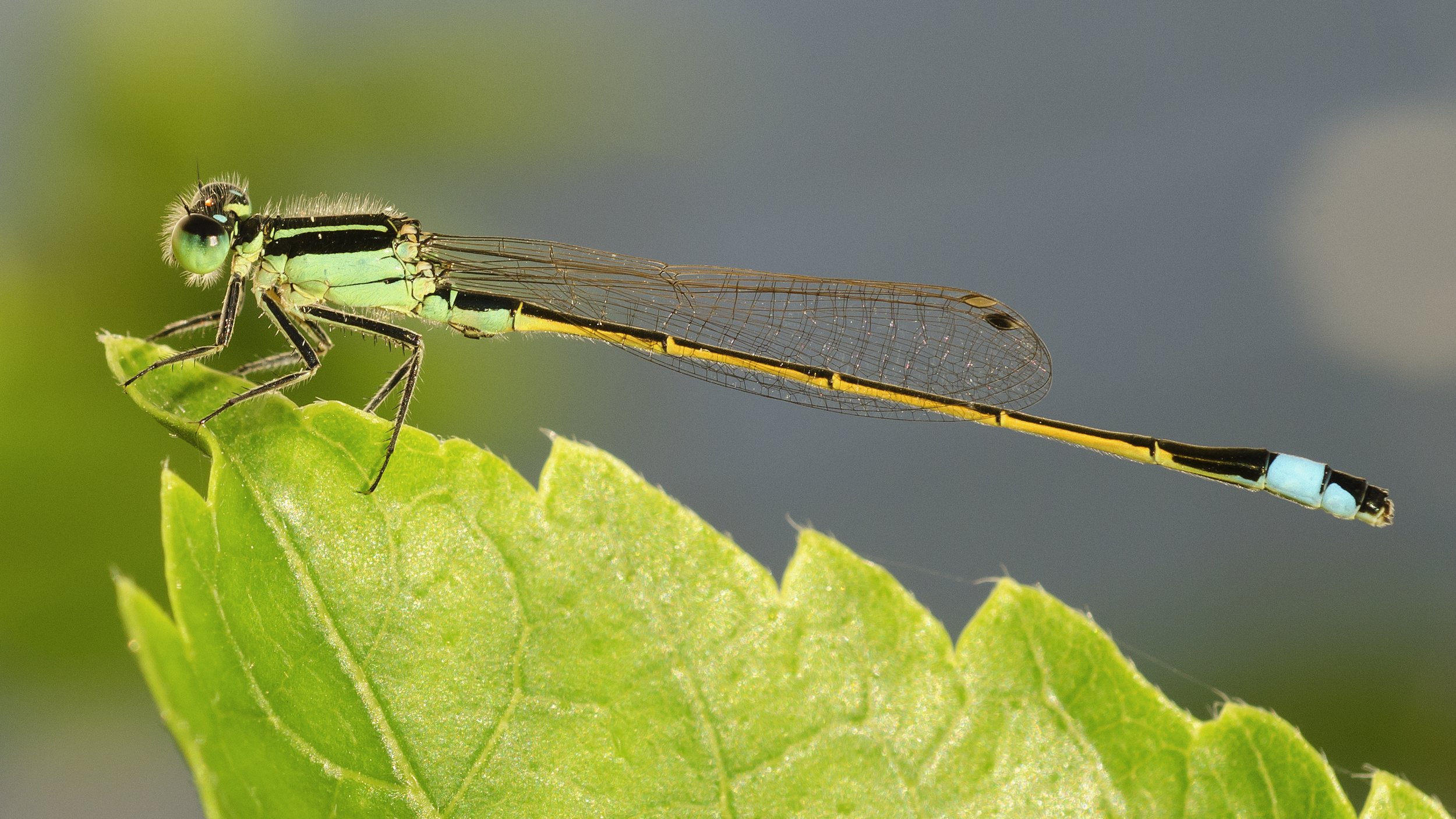 green damselfly.jpg