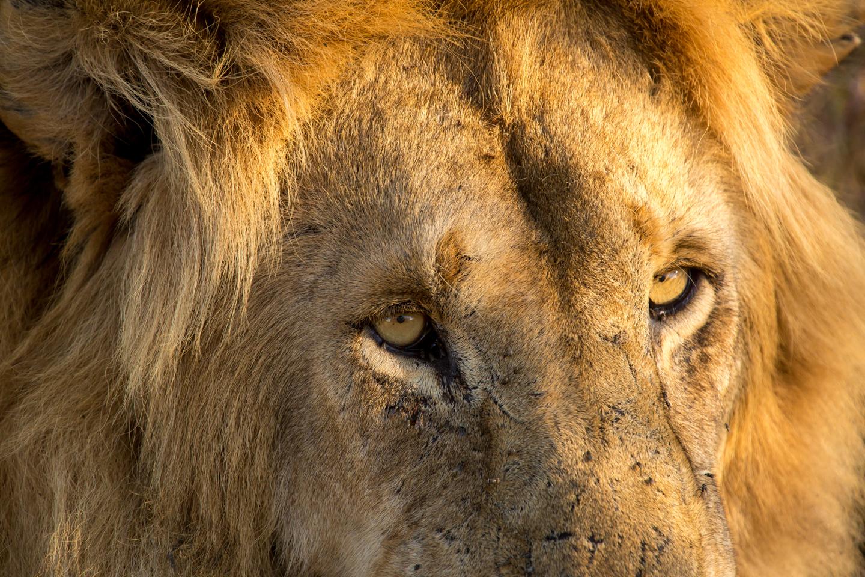 professional-travel-photographer-worldwide-international-orlando-lion-wild-animal-24.jpg