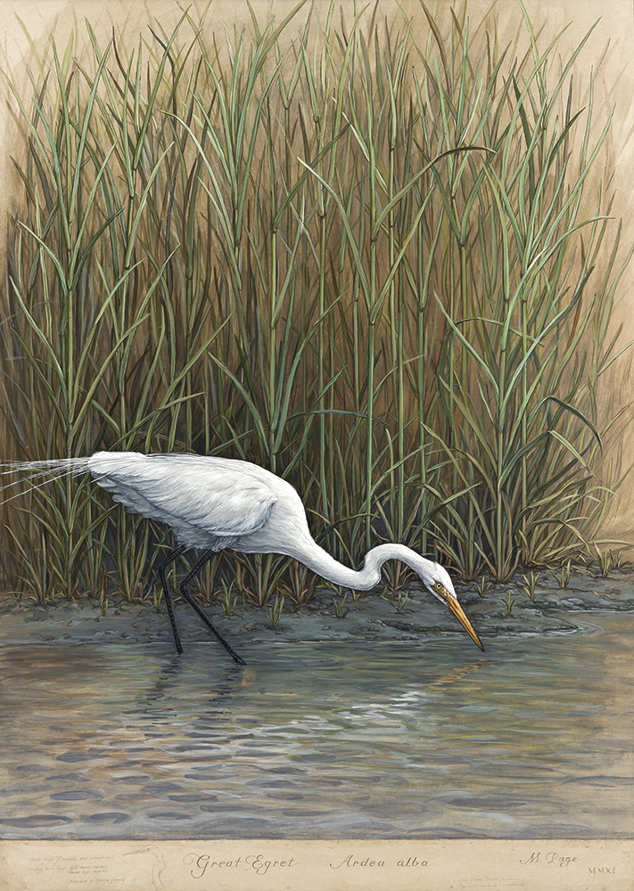 Great Egret in Marsh, I