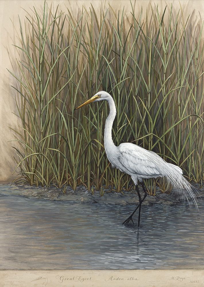 Great Egret in Marsh, II