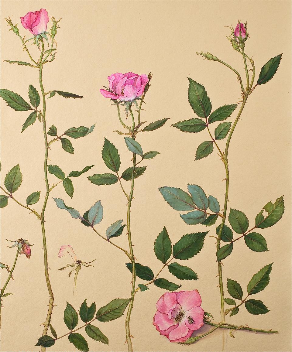 Maryland Garden, Roses