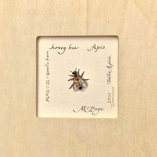 """Honey Bee"" Watercolor 3.5x3.5""  Slightly larger than life bee with sepia naturalist notes.  raw wood frame 8"" square  #bee #honeybee #insectsofinstagram #insectsofinstagram #art #natrualist #gardenart #artgallery #artforsale #artists #botanicalart #giftsforher #giftideas #giftcard #gardenclubofcharleston #contemporaryart #interiorstyle"