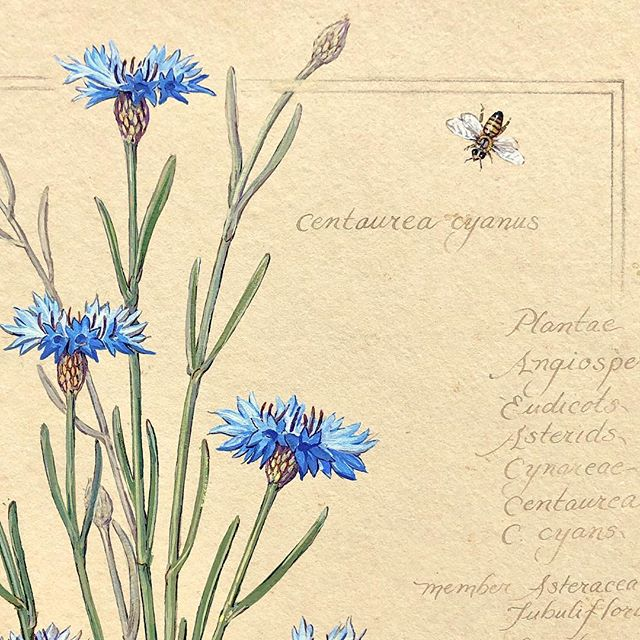 "#1 ""Cornflower Plant I"" {detail} #2 ""Cornflower Plant I"" {full view} 'life size with bee, yellow flutterbys and caterpillar', watercolor 11""x14 buff bespoke paper #3 ""Cornflower Plant I"" {detail} #4 ""Cornflower Miniature Study"" watercolor 7.5""x11""  #5  Sepia study for painting (unfinished)  #cornflower #centuareacyanus #botanicalart #butterfly #naturalist #watercolorpainting #watercolor #flutterby #honeybee #bee #gardenart #garden #nativeplants #flowers #flowerstagram #wildflower #wildflowers #botanicalgardens #botanical #botanicalillustration #botanicalpainting #manuscript #kewgardens #victoriaandalbert #museums"