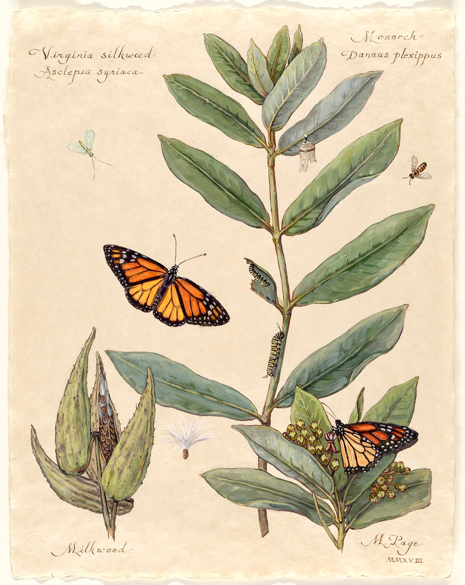 "Monarch on Virginia Silkweed I  Milkweed Plant with Blossoms and Seed Pods Bee and Lacewing   11""x14"" sheet – $180"