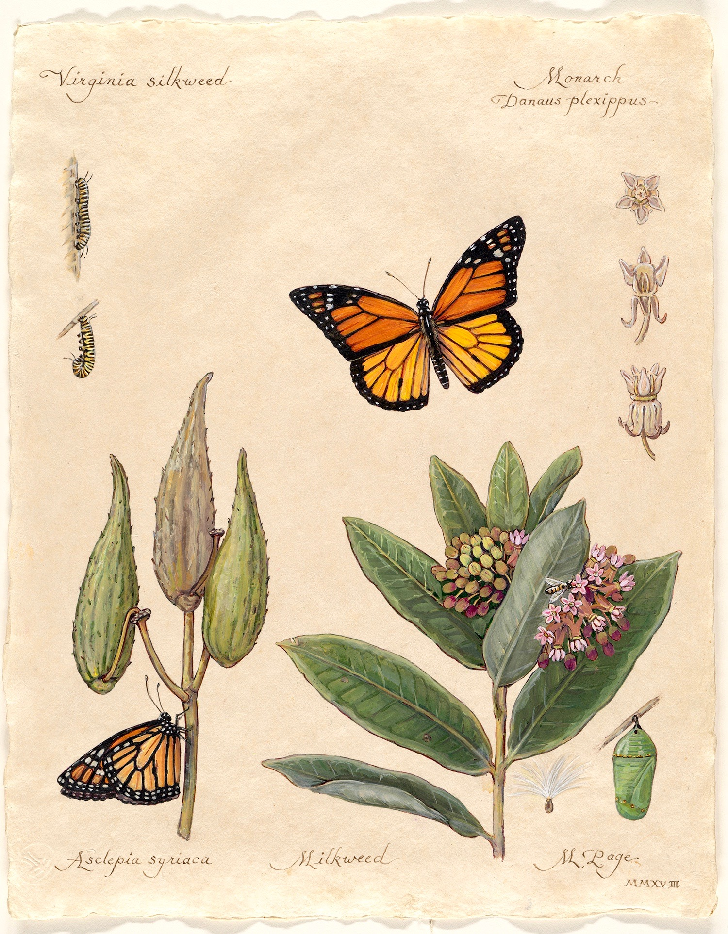 """Monarch on Virginia Silkweed II  Milkweed Plant with Blossoms and Seed Pods Metamorphosis Studies, Emergence Stages   11""""x14"""" sheet – $180"""