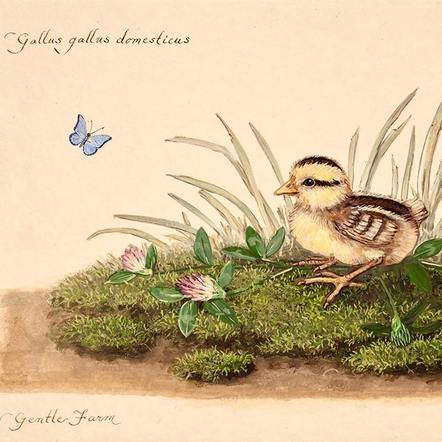 "Happy Easter ""Chick on Moss with Clover & Blue Flutterby"" watercolor on vellum cotton paper study from Gentle Farm : Heritage Breed - Junglefowl"