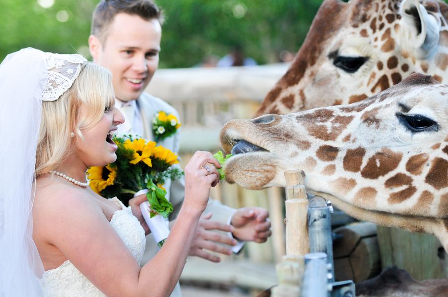 bride feeding a giraffe at her wedding | Cheyenne Mountain Zoo wedding | photo by Trystan Photography