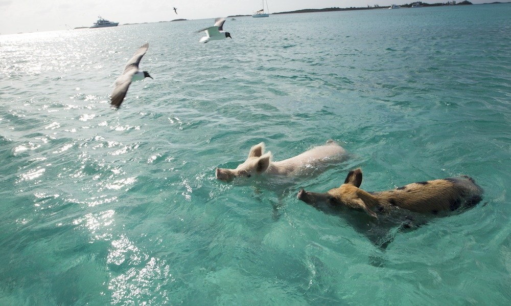 A One-of-a-Kind Wedding and Honeymoon Experience in Exhumas, Bahamas is Swimming with the Pigs / as seen on www.BrendasWeddingBlog.com