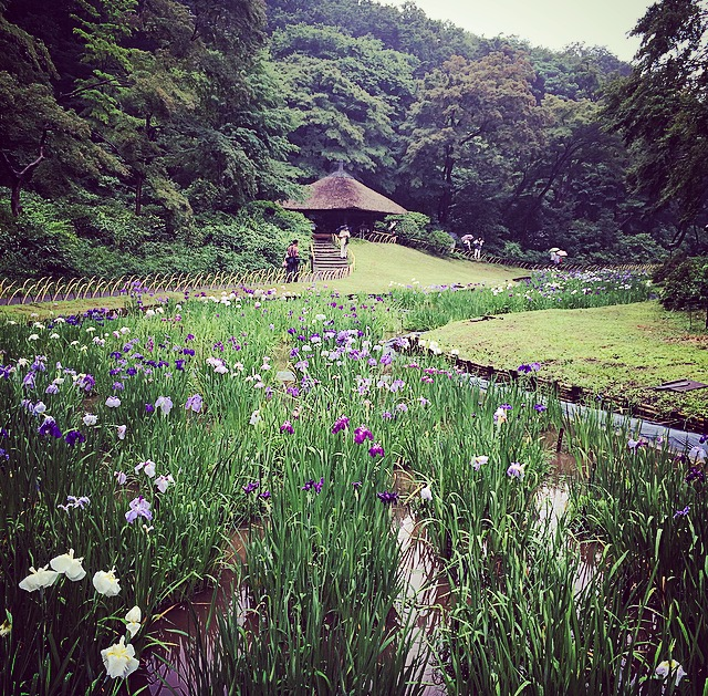 meiji jingu iris garden in bloom