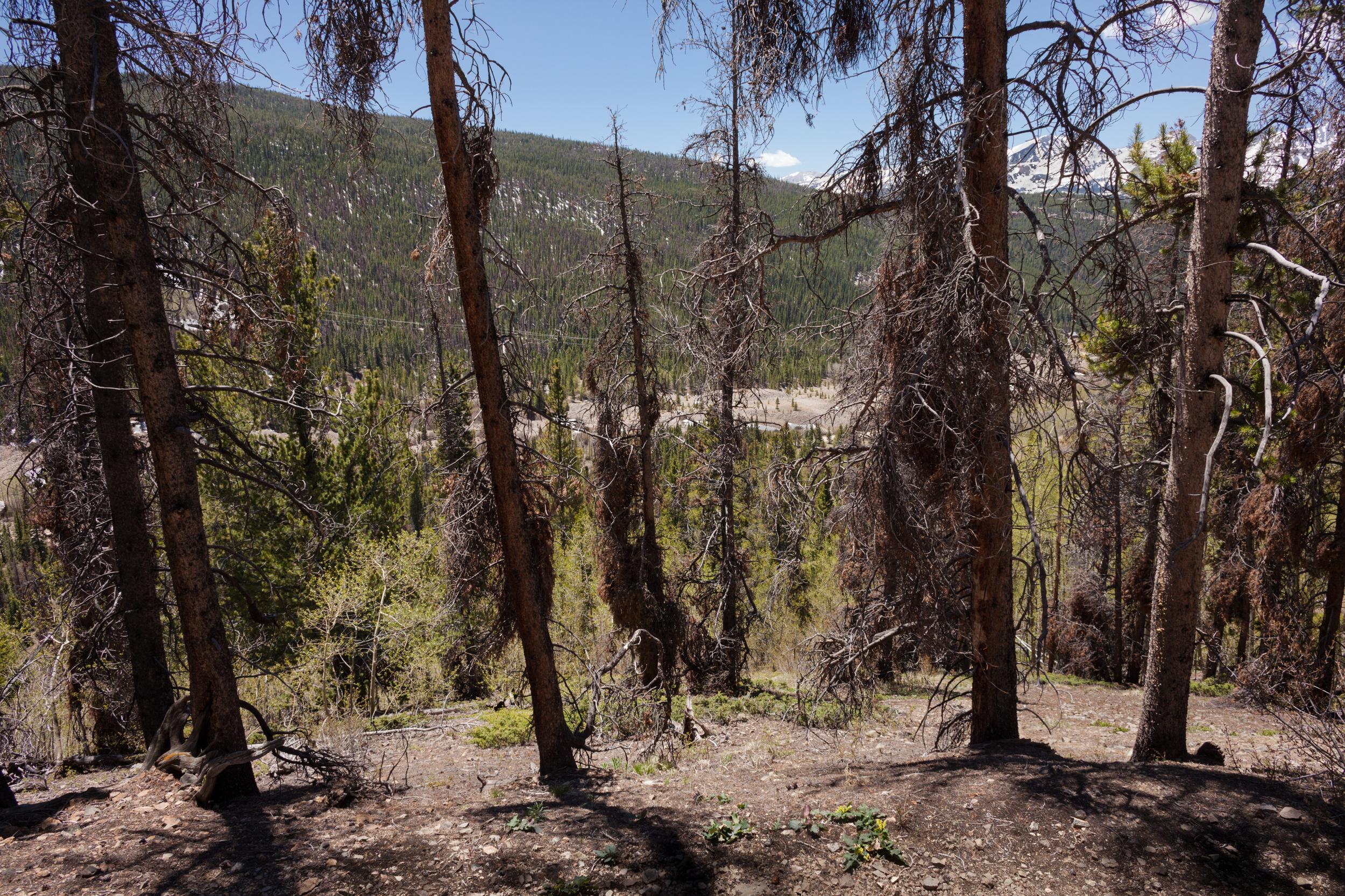 Diseased Trees, Flume Loop Mountain Trail, Breckenridge
