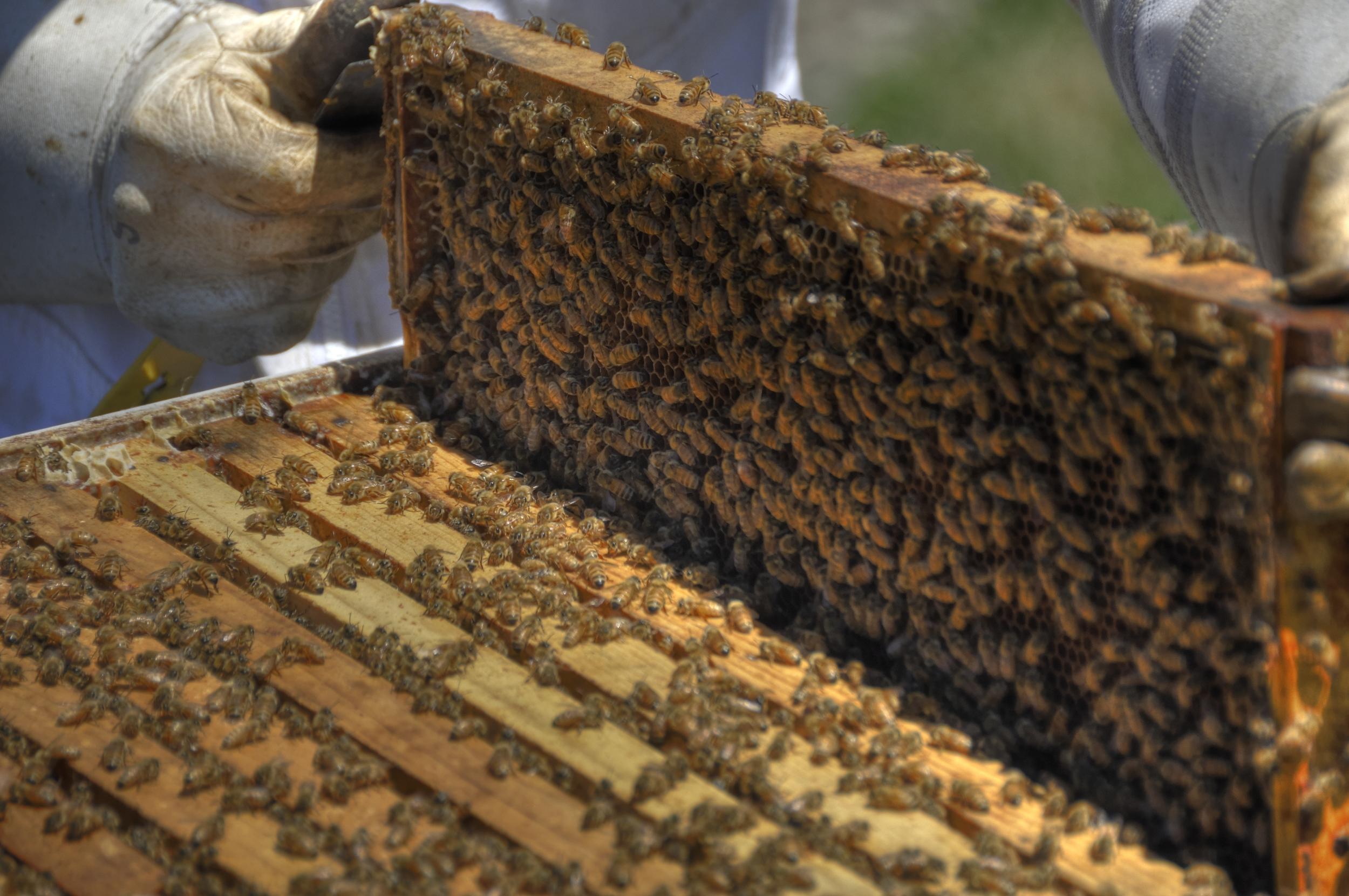 80,000 Female Honey Bees