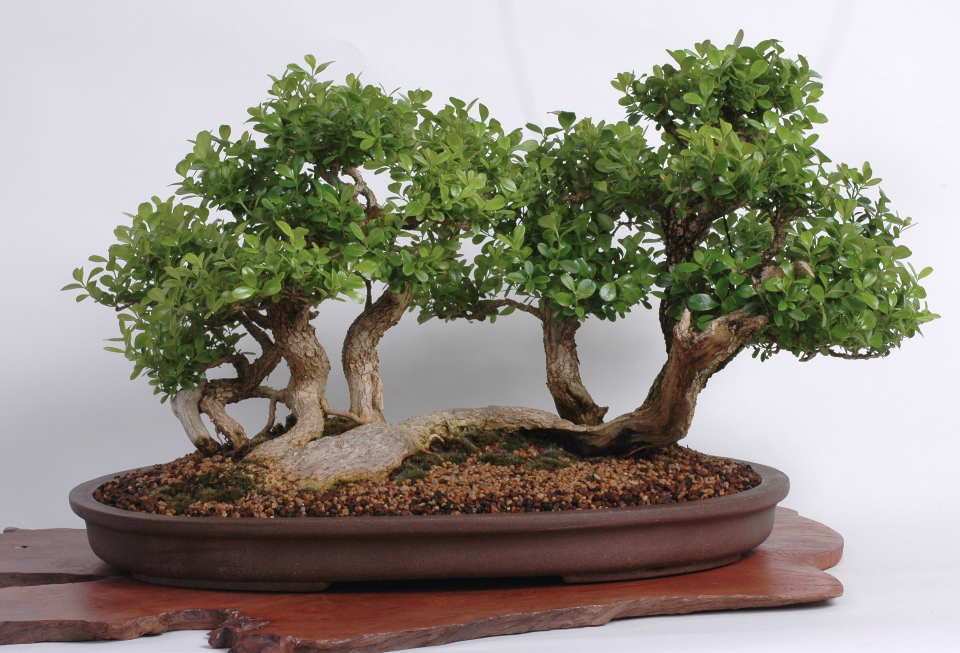 Boxwood, 10 inches tall, Vic Tomasyan, 2010