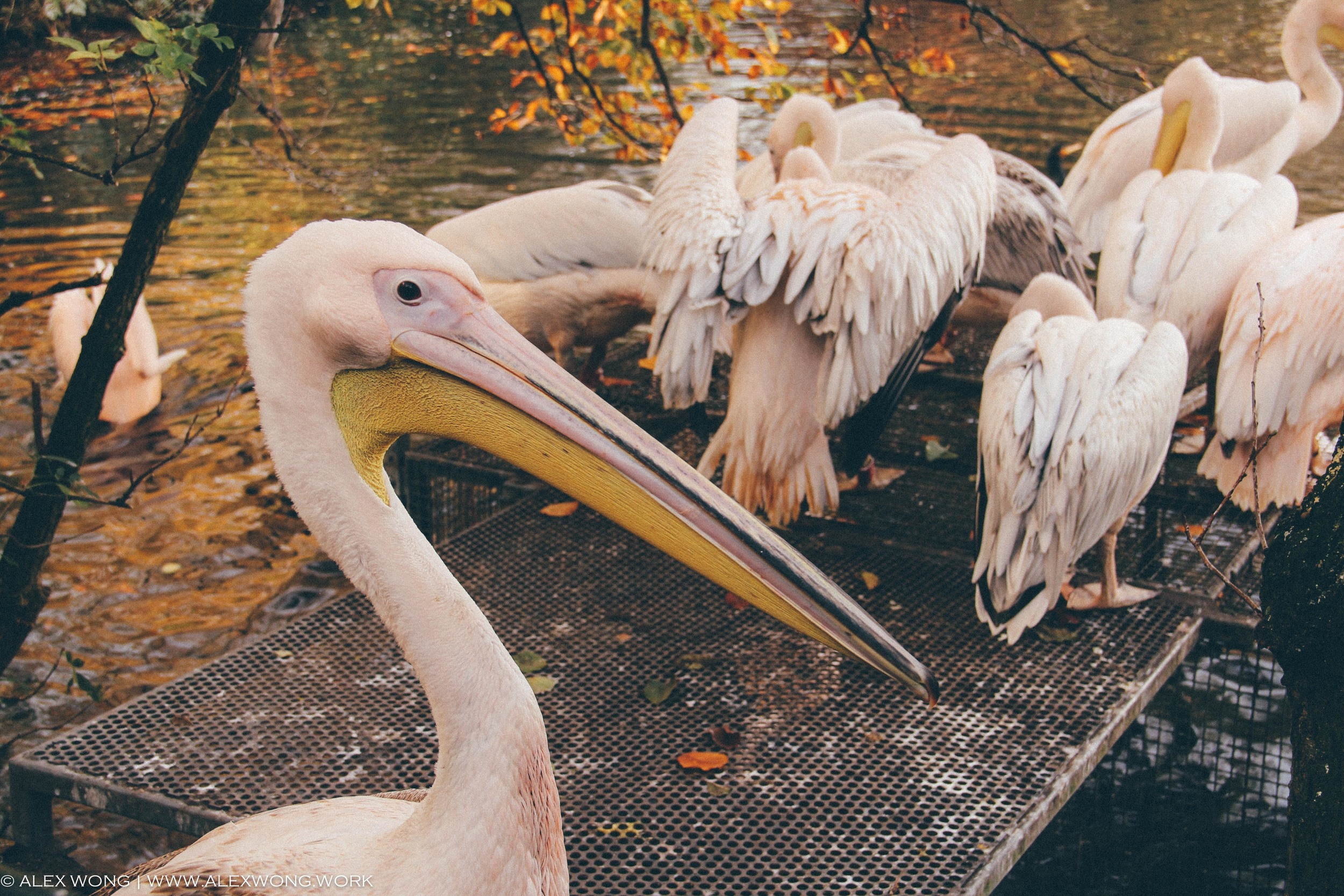 Amsterdam - Pelican.jpg