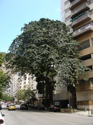 Rua Pompeu Loureiro e a árvore Assacú (Hura Creptans) em seu apogeu