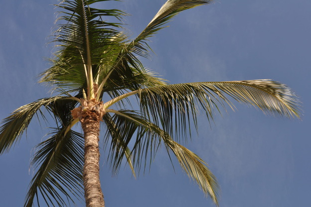 palm tree 2012.JPG