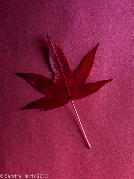 maple leaf fall red graphic