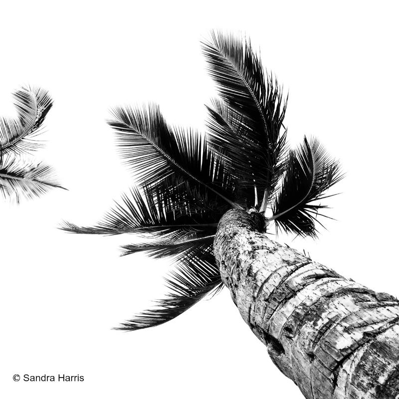 palm trees maui.png
