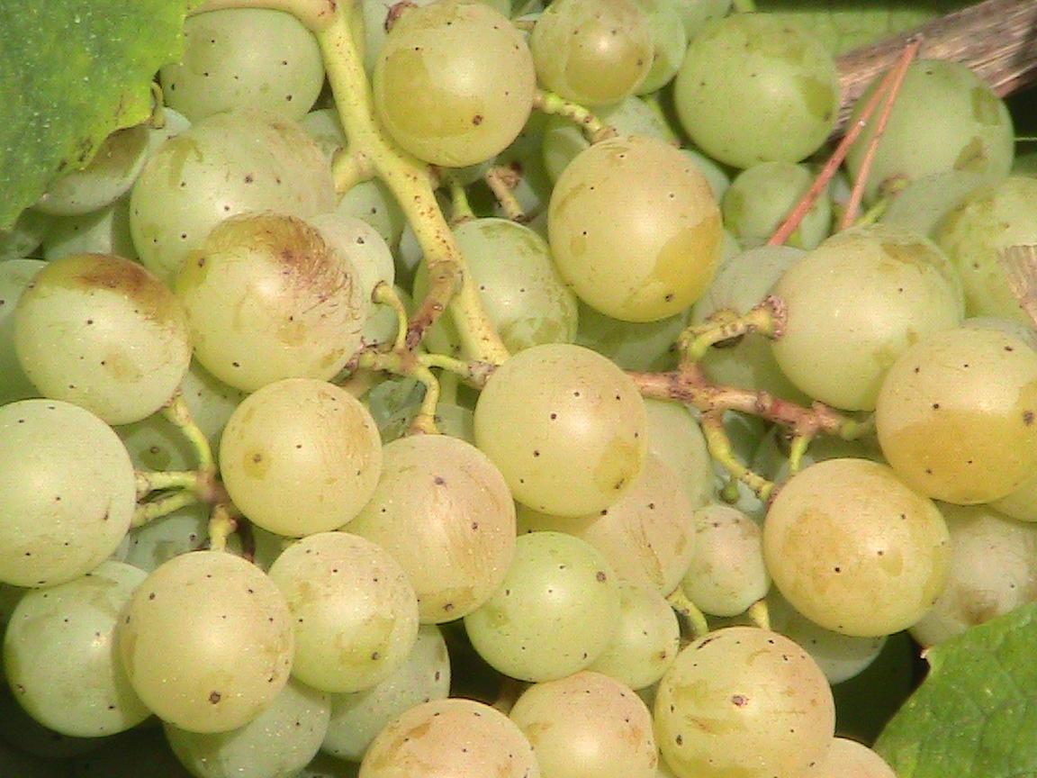 Famoso grapes. Copyright: Chris Boiling