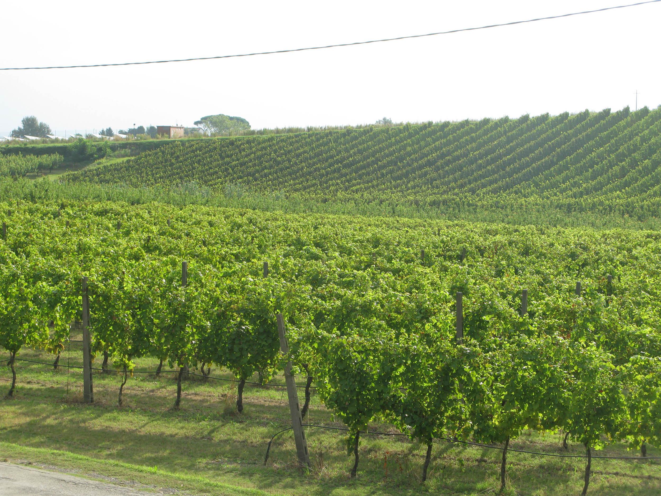 New Famoso vines at La Sabbiona