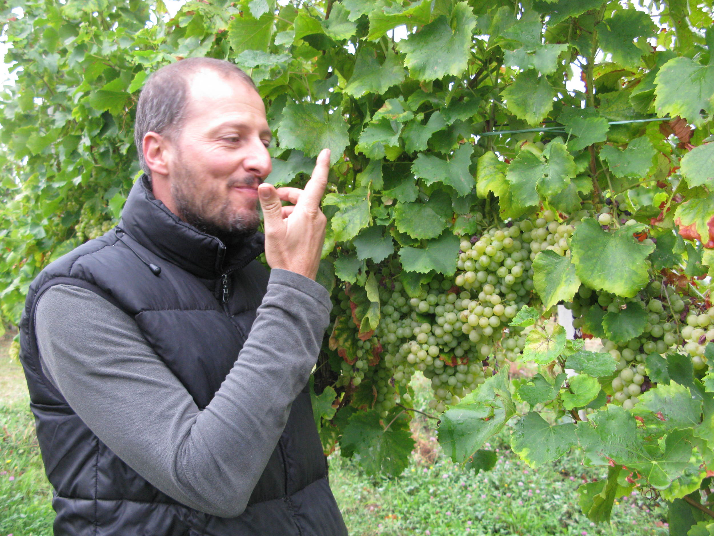 Winemaker Claudio Ancarani tastes the Famoso grapes he is helping to save