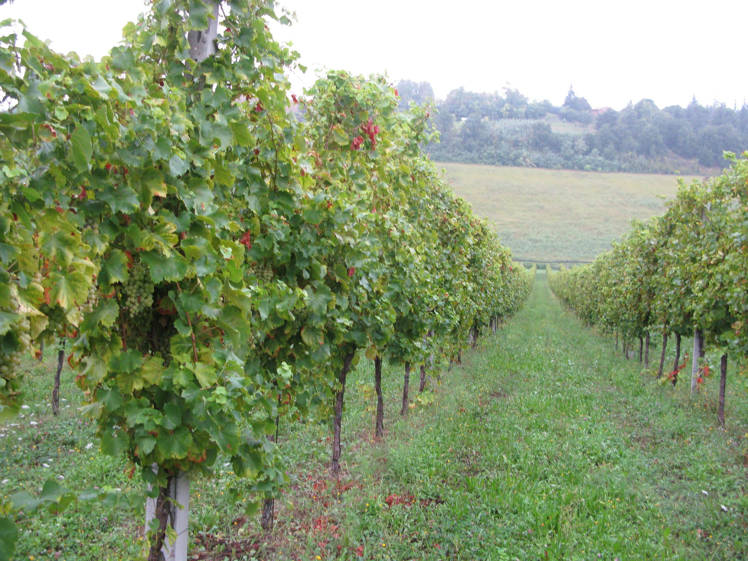 In the Ancarani vineyard
