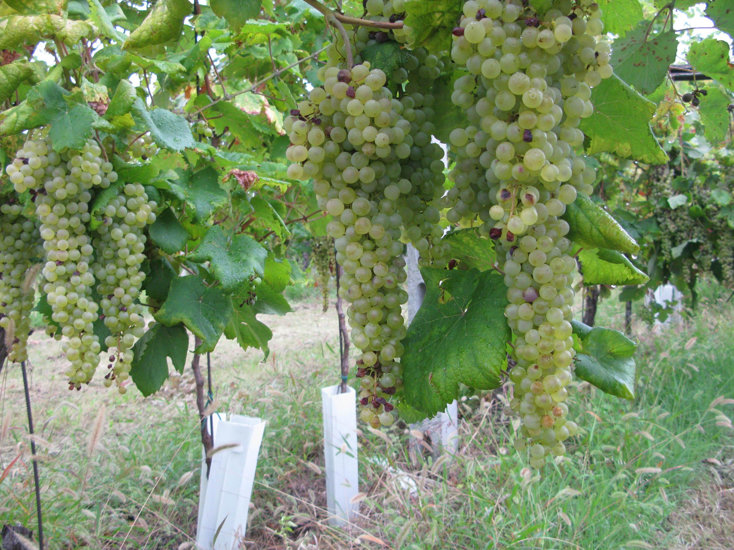 The distinctive Albana grape variety