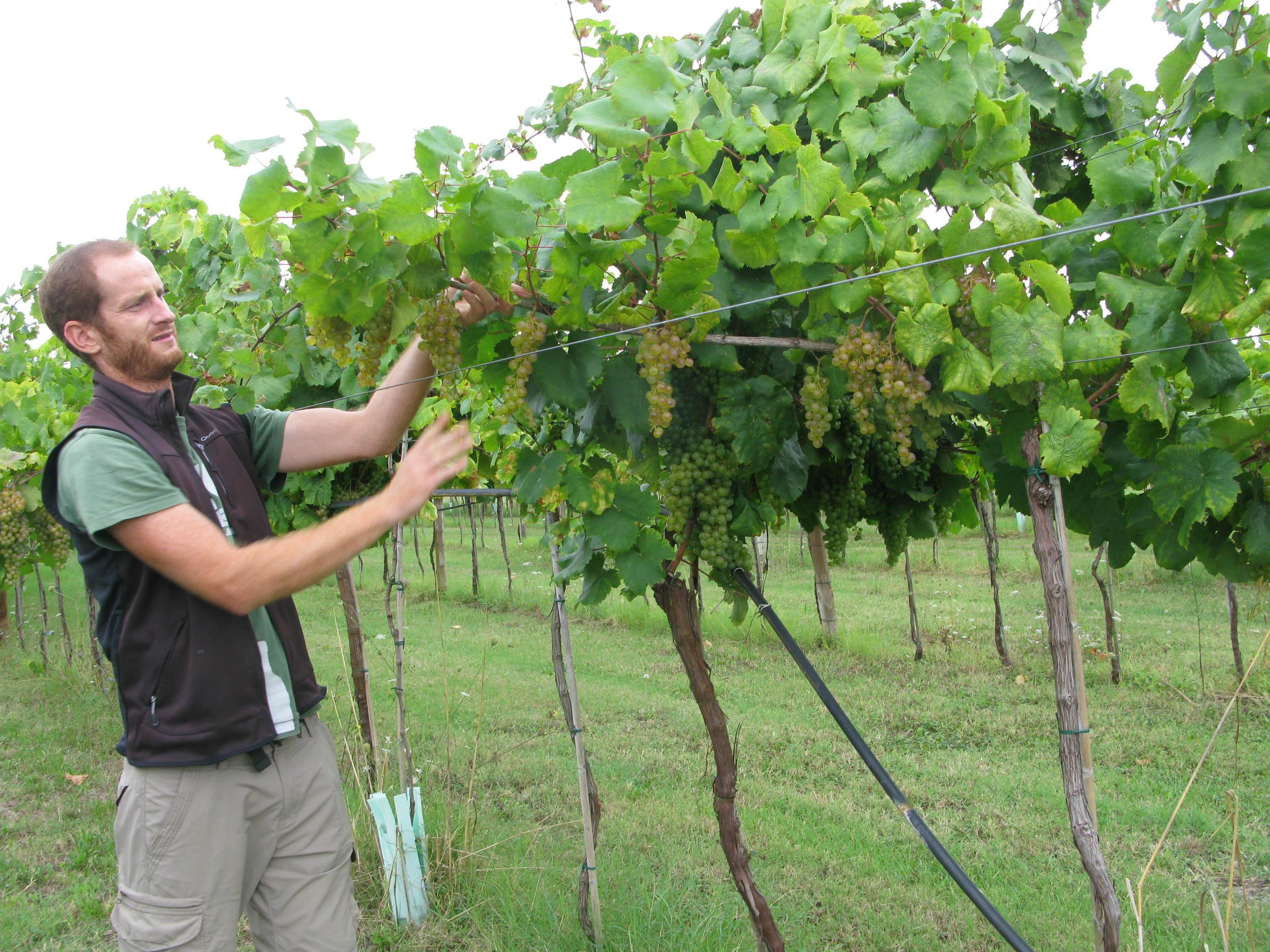Examining the Famoso grapes