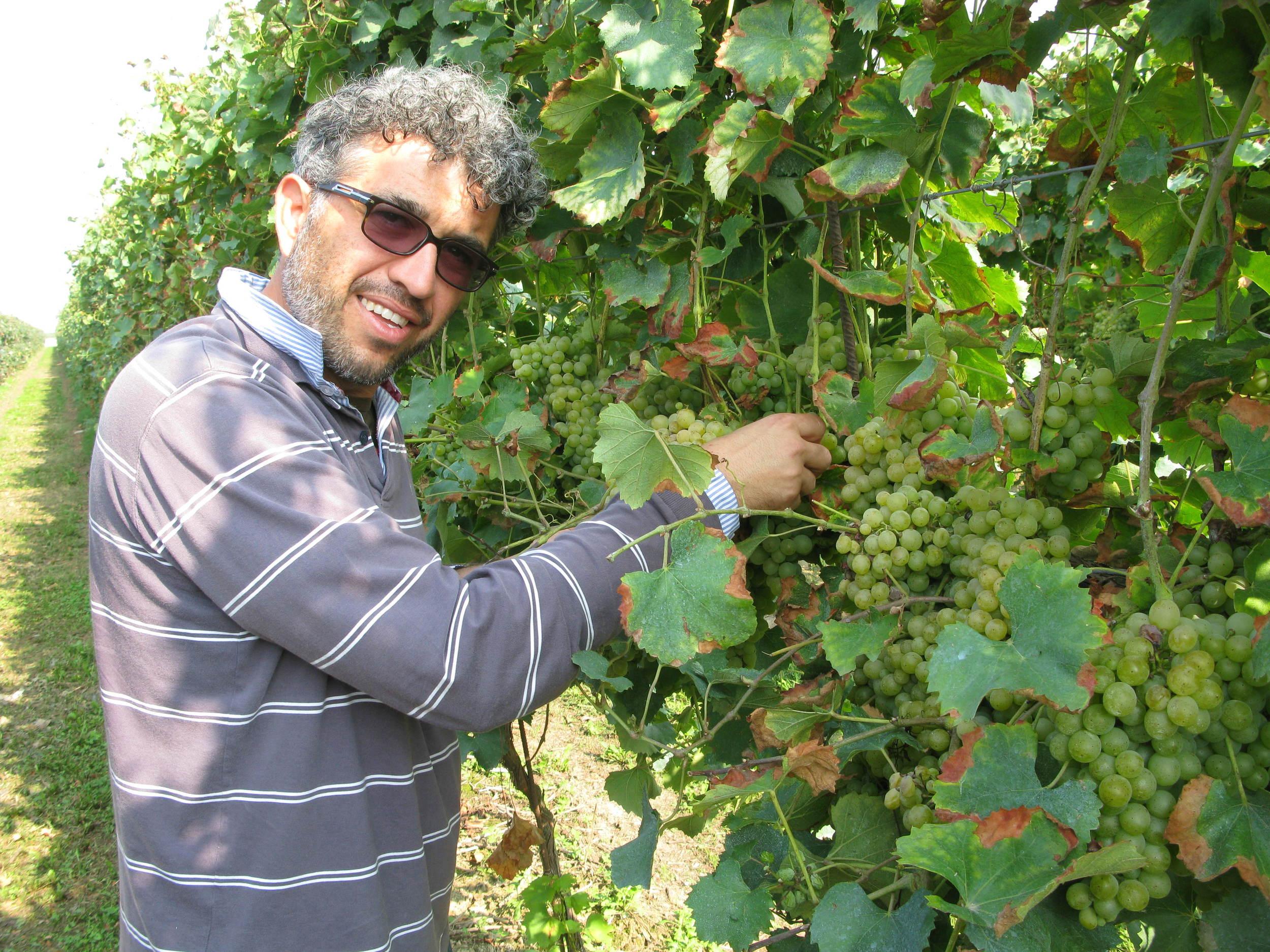 Massimo Randi checks the grapes