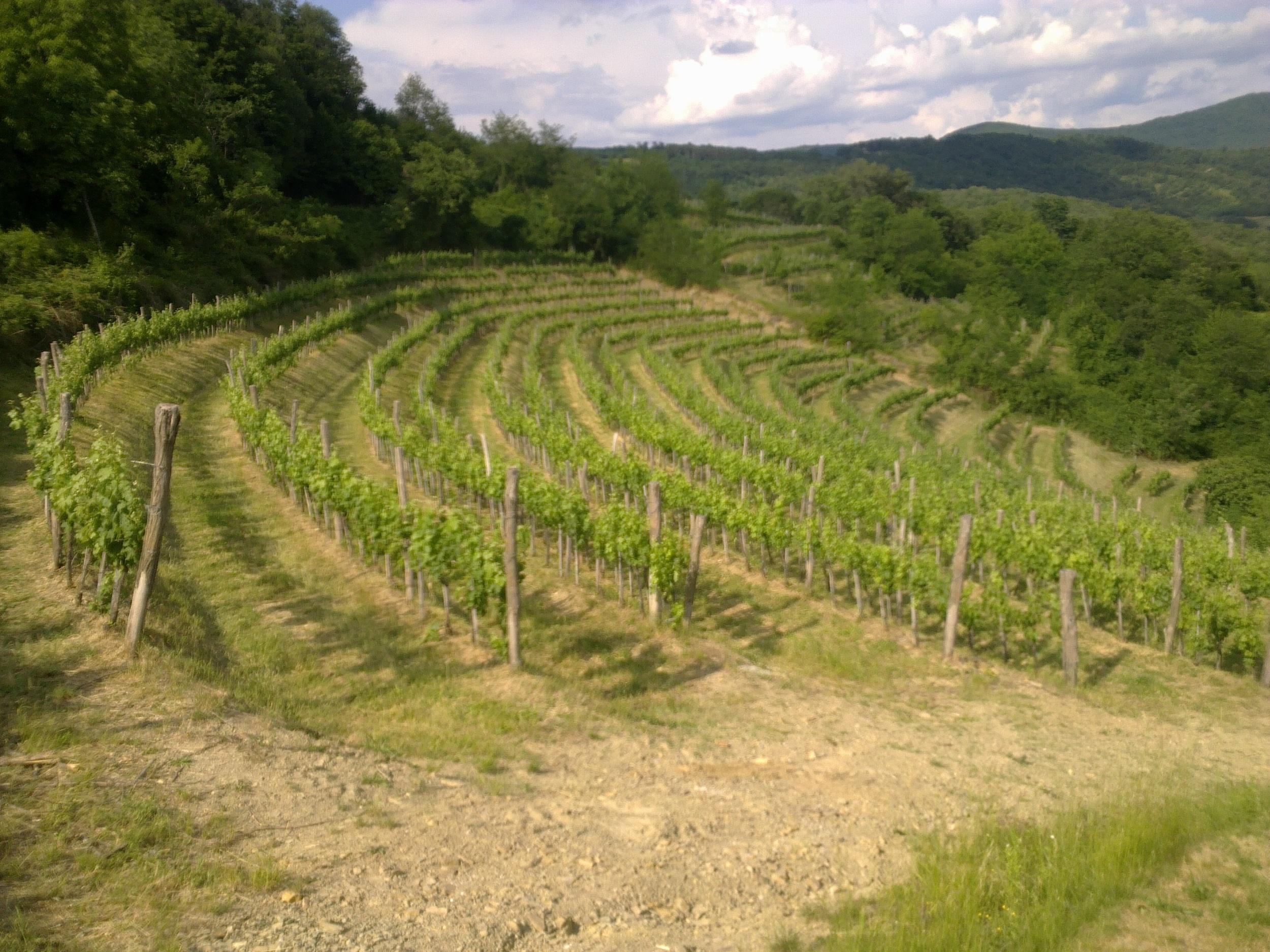 Rebula vines growing at the Ferdinand vineyard