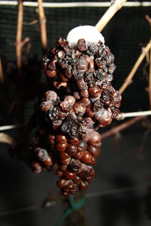 Bodren ice grapes.jpg
