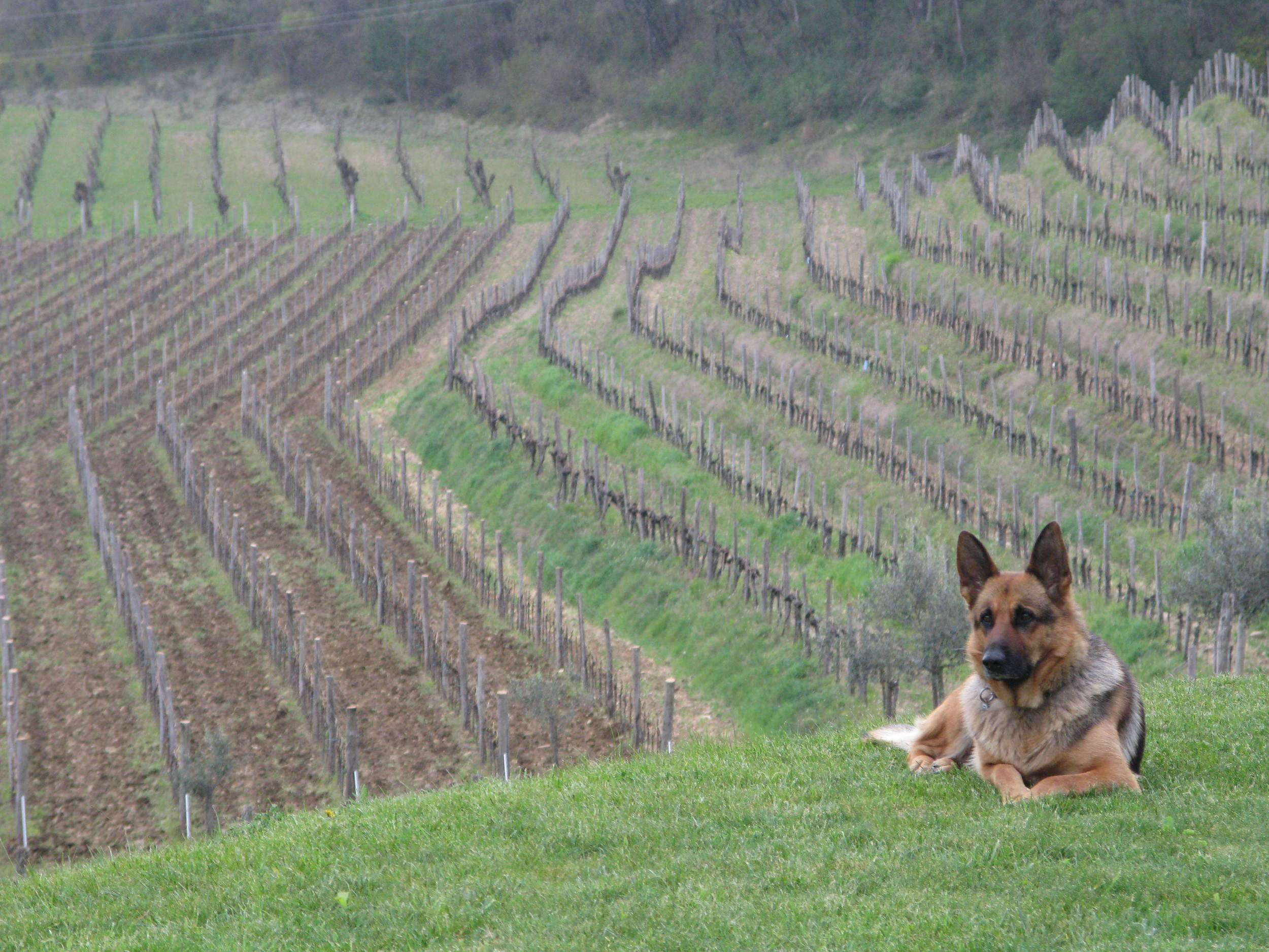 Watching over the vineyards