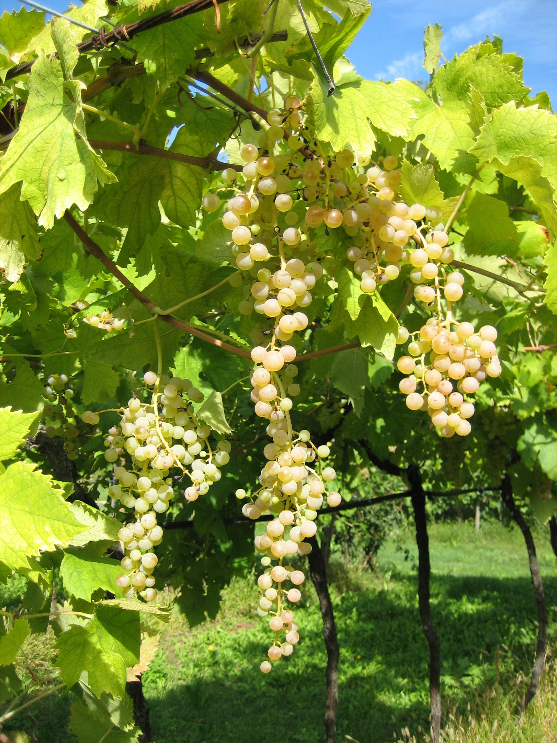 Garganega grapes - the main variety in Soave