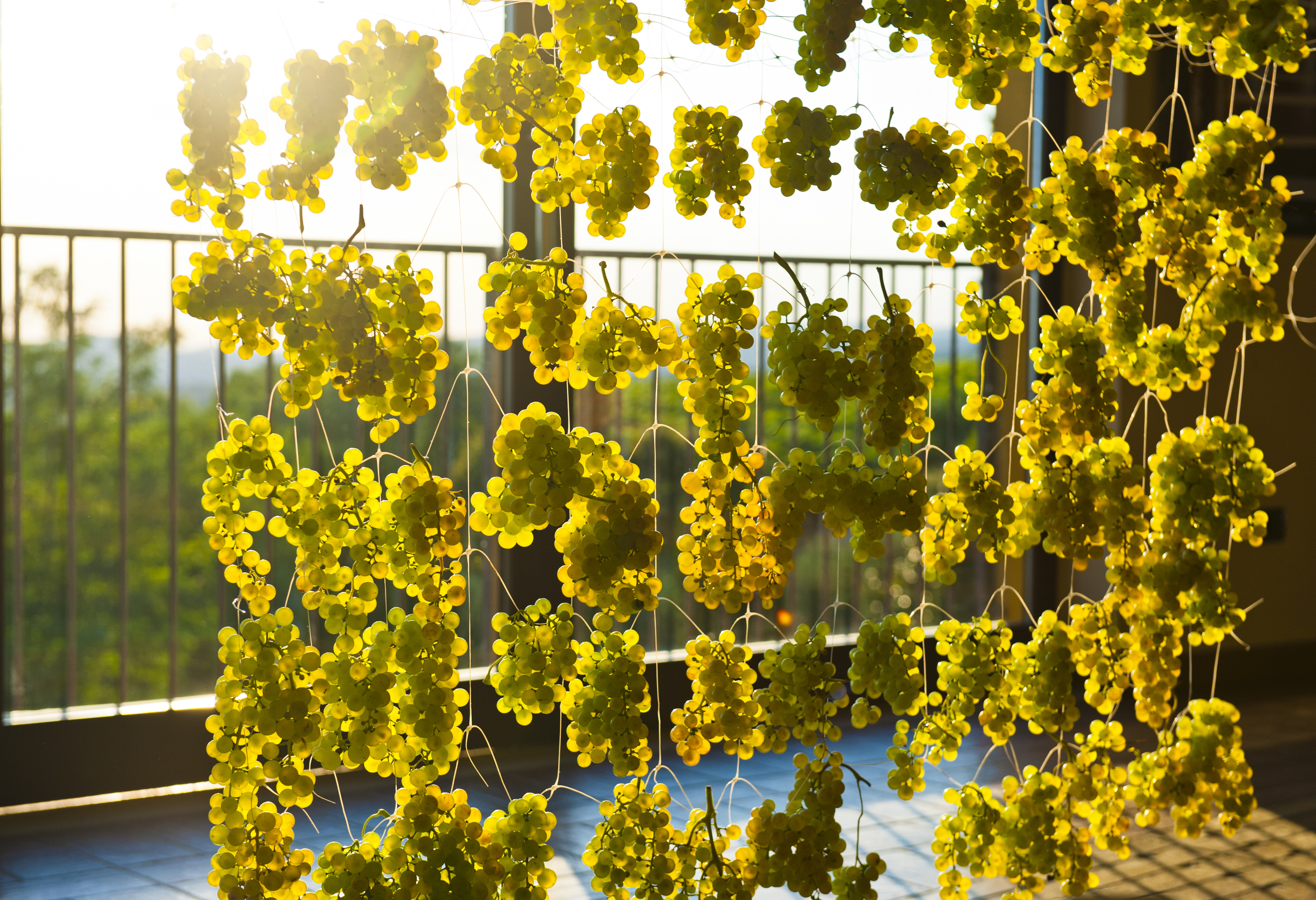 Garganega grapes hanging out to dry