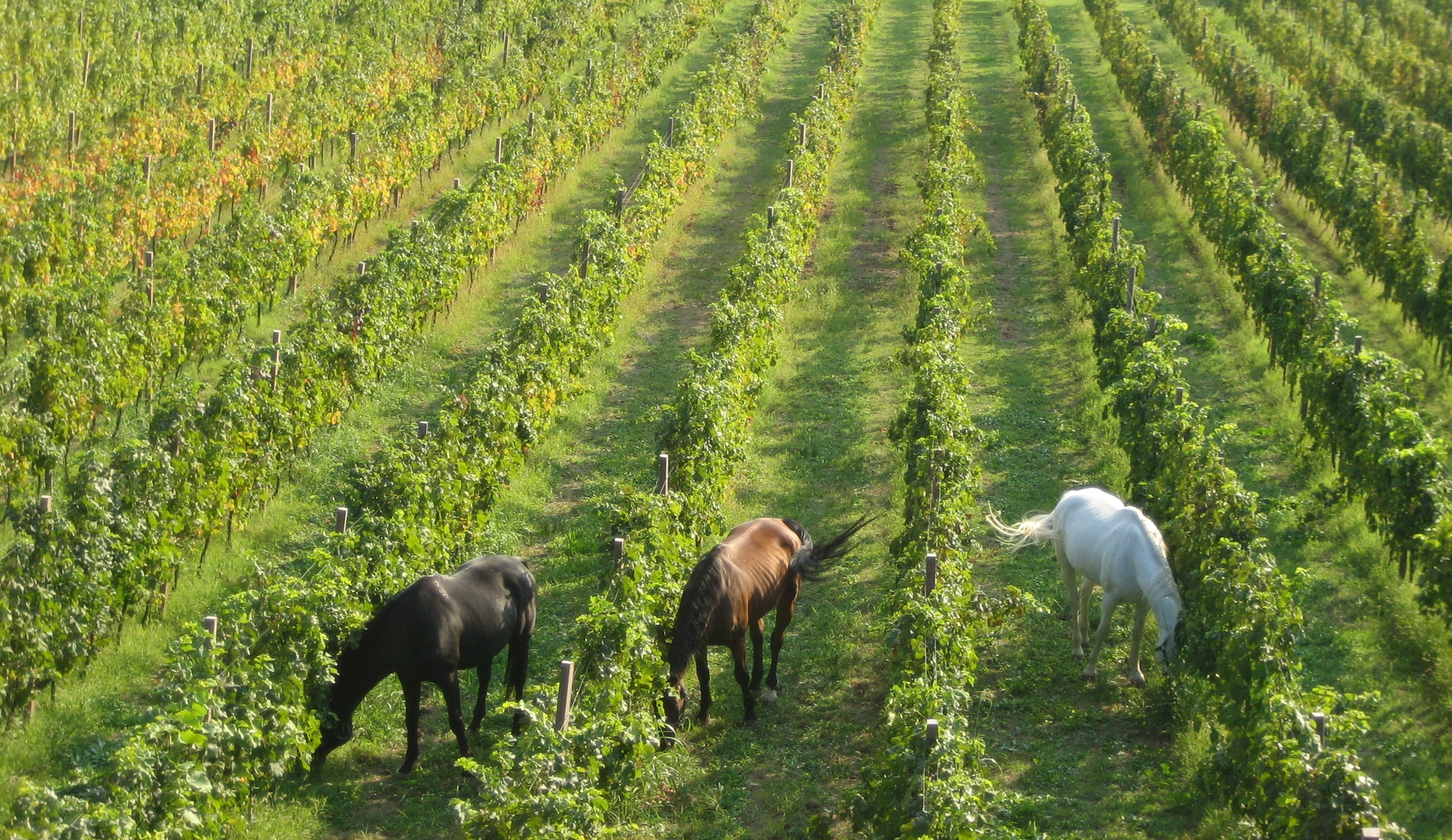 Herd the one about horses in the vineyard?