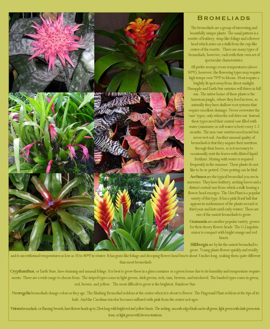 Bromeliads that can be grown in your vertical garden