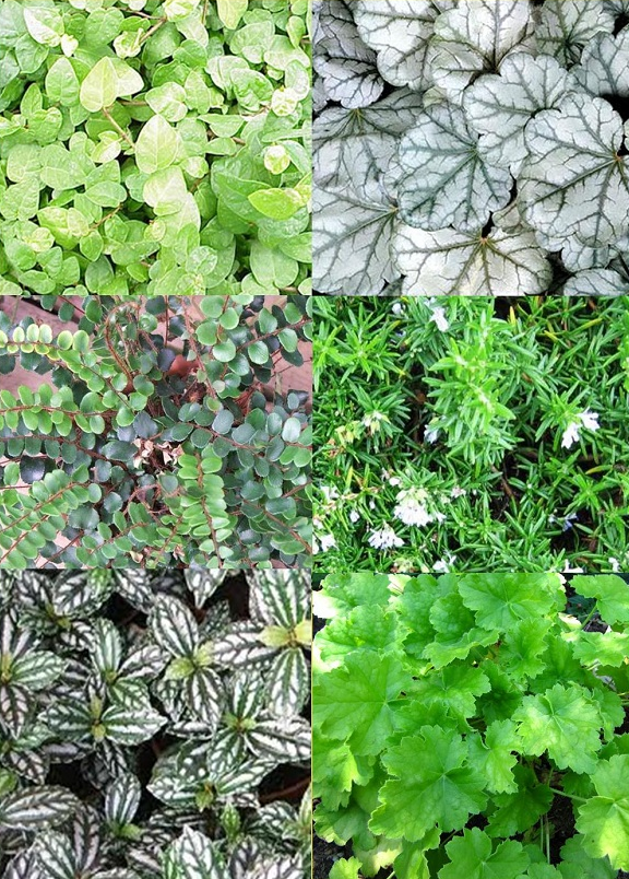 Dolce Key Lime, Creeping Fig, Dolce Mocha Mint, Pilea Aluminum, and Button Fern