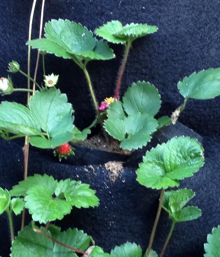 Strawberry Vert Garden (2).jpg