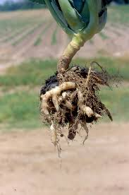 Source: http://www.omafra.gov.on.ca/IPM/english/brassicas/diseases-and-disorders/clubroot.html