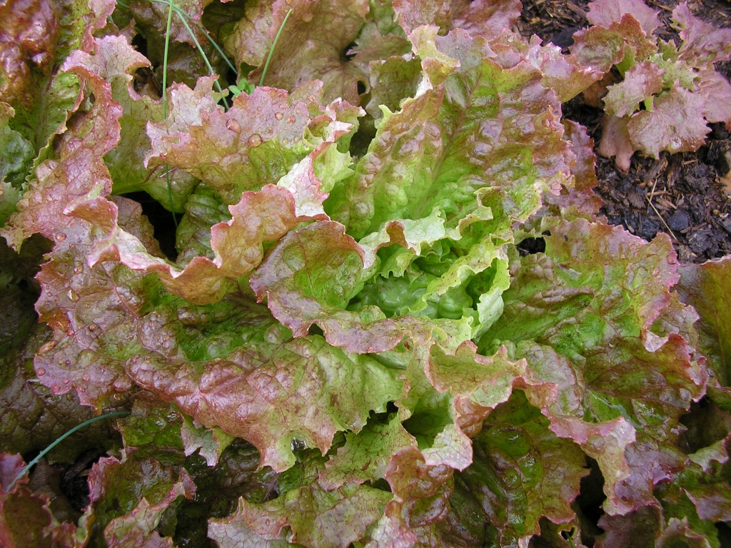 Lettuce Redsails.jpg