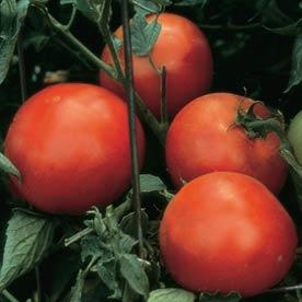 Celebrity Tomato.jpg