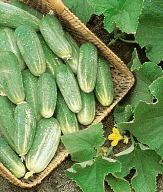 Bush Pickle Cucumbers 1.jpg