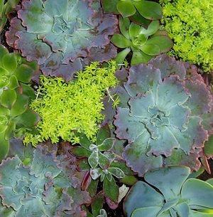 Succulents, Sedum, Jades grown in a living wall