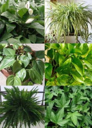 Peace Lilies, Spider Plants, Heart-leaf Philodendron, Golden Pothos, Boston Ferns, and Hedera Helix