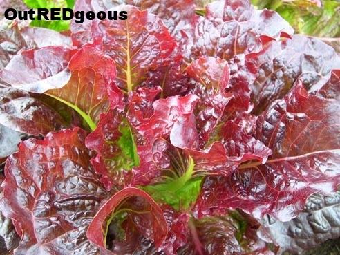 Outredgeous+Lettuce.jpg