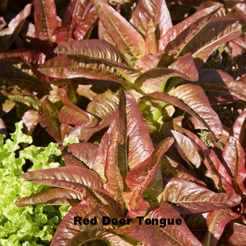 Red+Deer+Tongue+Lettuce.jpg
