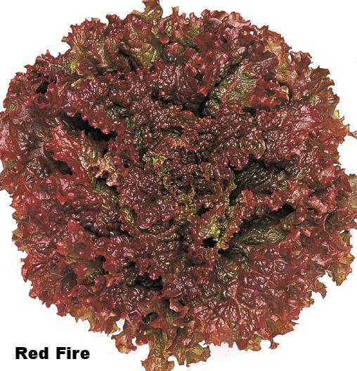 Red+Fire+Lettuce.jpg