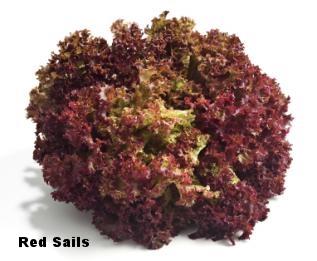 Red+Sails+Lettuce.jpg