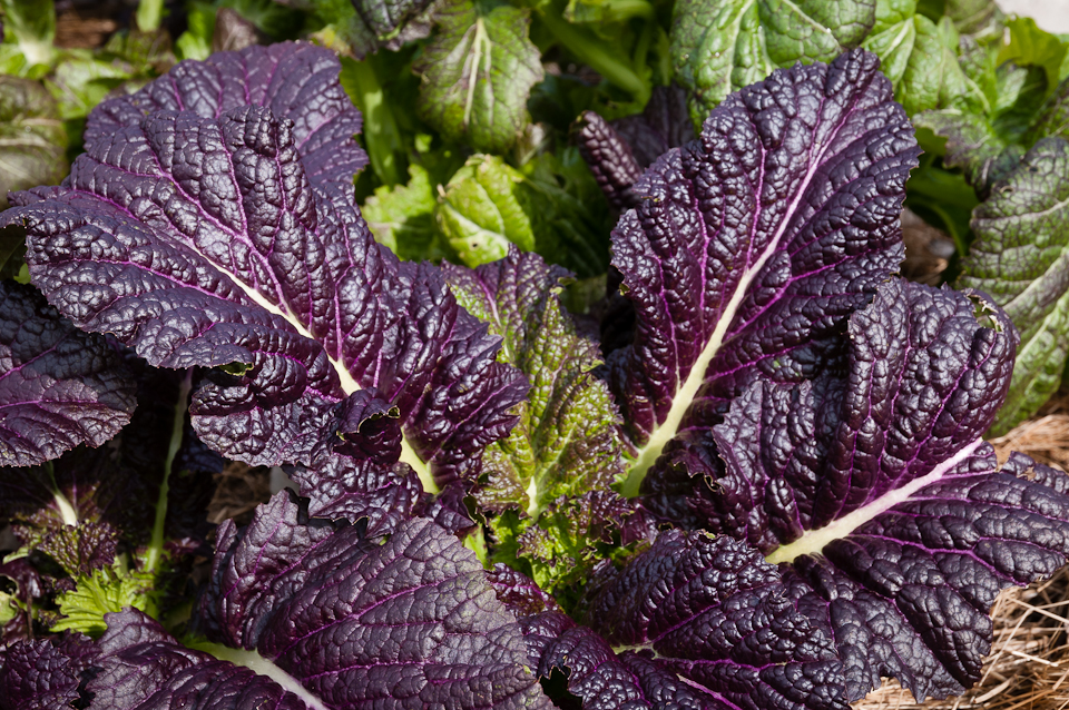 Osaka Purple Mustard Greens for edible vertical gardens, edible living walls, and edible plants on walls. Fall vegetable gardens