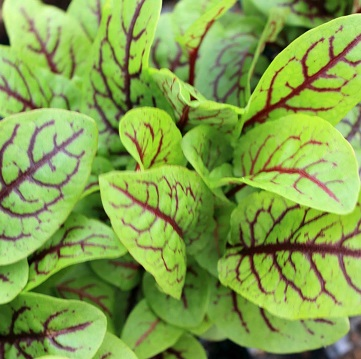 red veined sorrel.jpg
